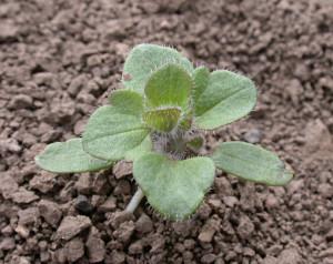Veronica hederifolia BBCH 22