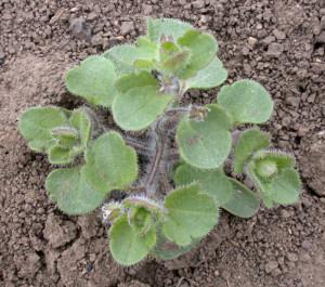 Veronica hederifolia BBCH 59