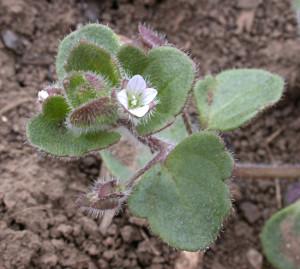 Veronica hederifolia BBCH 65