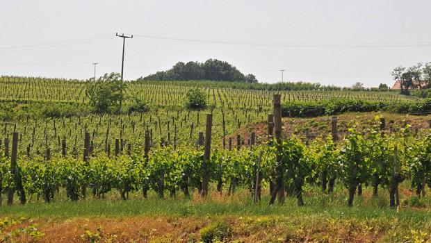 vinogradi-topola02-620x350